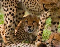 вид портрета geppard гепарда Конец-вверх Кения Танзания вышесказанного Национальный парк serengeti Maasai Mara стоковая фотография