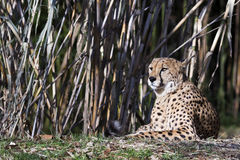 вид портрета geppard гепарда Стоковое Фото