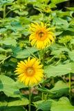 вид сбокуый солнцецветов поля Стоковые Фотографии RF