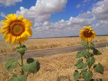 вид сбокуый солнцецветов поля Стоковые Изображения