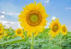 вид сбокуый солнцецветов поля стоковое изображение