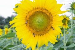 вид сбокуый солнцецветов поля стоковое изображение rf