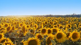 вид сбокуый солнцецветов поля Стоковое фото RF