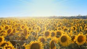 вид сбокуый солнцецветов поля Стоковые Изображения RF