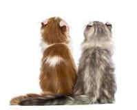 Вид сзади 2 американских котят скручиваемости, 3 месяца старого, сидя и смотря вверх Стоковое фото RF