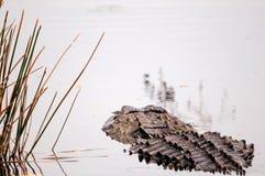 Вид сзади аллигатора в заболоченных местах Флориды Стоковая Фотография RF