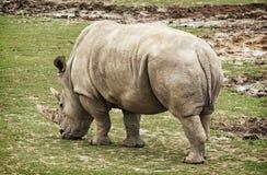Вид сзади белого носорога, животная сцена Стоковое фото RF