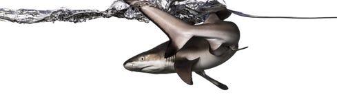 Вид сзади заплывания акулы рифа Blacktip на поверхности Стоковая Фотография RF