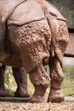 Вид сзади индийского носорога (unicornis носорога) Стоковая Фотография RF