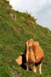 Вид сзади коровы пася на зеленой траве Стоковое Изображение RF
