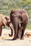 Вид спереди идти африканского слона Стоковое Изображение RF