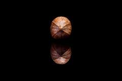 Вид спереди на одиночной обстреливаемой гайке пекана изолированной на черном backgro Стоковое Изображение RF