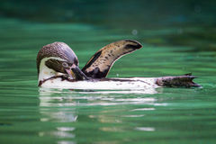 Вид спереди пингвина Гумбольдта Стоковые Изображения RF