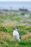 Вид спереди пингвина на луге Стоковое Изображение