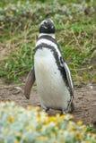 Вид спереди положения пингвина Стоковые Изображения RF