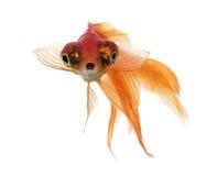 Вид спереди рыбки в воде, islolated на белизне Стоковое Изображение RF