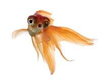 Вид спереди рыбки в воде, islolated на белизне Стоковые Изображения RF