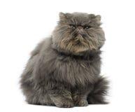 Вид спереди сварливого персидского кота, усаживание, смотря вверх Стоковые Изображения RF