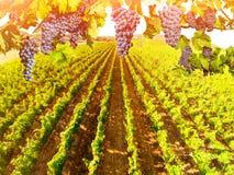 Вид с воздуха ландшафта виноградника Стоковые Фотографии RF