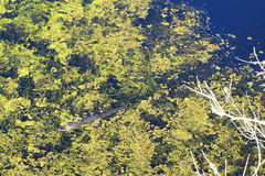 Вид с воздуха аллигатора Стоковые Фото