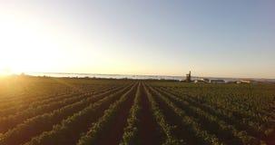 Вид с воздуха виноградника во время восхода солнца видеоматериал