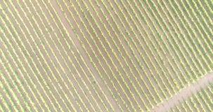 Вид с воздуха виноградника видеоматериал