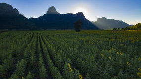 Вид с воздуха горы поля цветка солнца и камня известки в lopbu Стоковое Фото