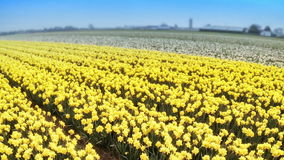 Вид с воздуха желтых daffodils field на времени весны сток-видео