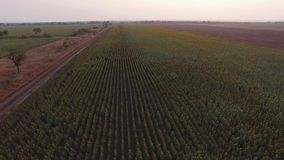 Вид с воздуха от максимума на поле солнцецветов сток-видео