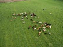 Вид с воздуха пасти коров в табуне на зеленом выгоне в лете Стоковая Фотография