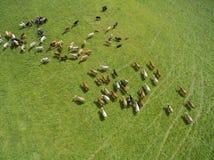 Вид с воздуха пасти коров в табуне на зеленом выгоне в лете Стоковые Изображения RF
