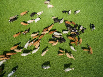 Вид с воздуха пасти коров в табуне на зеленом выгоне в лете Стоковые Фотографии RF