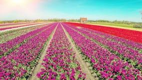 Вид с воздуха поля тюльпанов на солнечном весеннем дне сток-видео