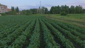 Вид с воздуха поля фасоли сток-видео