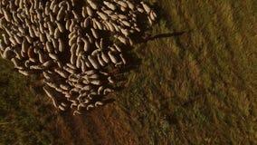 Вид с воздуха стада овец сток-видео