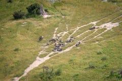 Вид с воздуха табуна голубой антилопы гну Стоковая Фотография