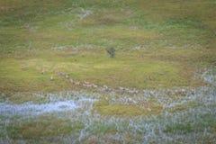 Вид с воздуха табуна зебр Стоковая Фотография