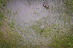 Вид с воздуха табуна зебр Стоковые Изображения