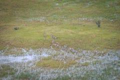 Вид с воздуха табуна зебр Стоковые Фото