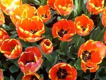 вид тюльпанов Стоковое Изображение