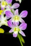 Вид фиолетового цвета орхидеи тайский Стоковая Фотография RF