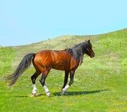 Вид Adayev степи дикой лошади, Jabe Стоковое Изображение