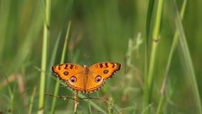 Вид Junonia Almana бабочки сток-видео