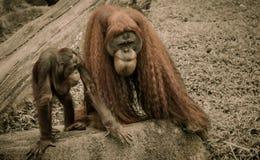 Вид Orang Utans исключительно азиатский Стоковые Фото