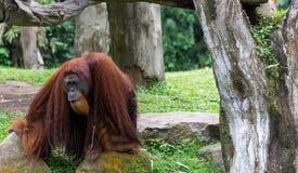 Вид Orang Utans исключительно азиатский Стоковое фото RF