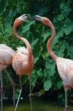включенный поцелуй 2 фламингоов Стоковые Фото