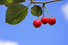 вкусное вишни зрелое Стоковое Фото