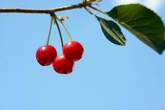 вкусное вишни зрелое Стоковое фото RF