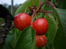 Вкусные вишни стоковое изображение