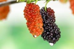 вкусный красный цвет шелковицы плодоовощ Стоковое Изображение RF